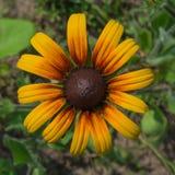 Flor do Rudbeckia Fotos de Stock Royalty Free