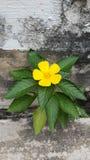 Flor do sábio de Rosa Foto de Stock Royalty Free