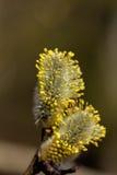 Flor do salgueiro Foto de Stock