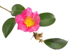 Flor do sasanqua Fotografia de Stock Royalty Free