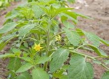 Flor do seedling do tomate fotografia de stock