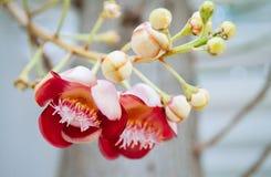 Flor do Shorea robusta ou do Sala - flora do Sal na árvore da bala de canhão A árvore é honrada por povos budistas foto de stock