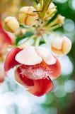 Flor do Shorea robusta ou do Sala - flora do Sal na ?rvore da bala de canh?o A ?rvore ? honrada por povos budistas fotografia de stock royalty free