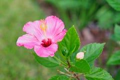 Flor do sinensis de rosa do hibiscus de Florida Imagens de Stock
