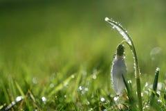 Flor do snowdrop da faísca da estrela no orvalho da manhã Fotografia de Stock Royalty Free