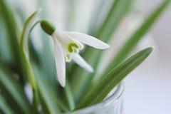 Flor do snowdrop do close up foto de stock royalty free