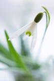 Flor do snowdrop do close up imagens de stock royalty free