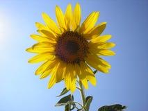 A flor do sol é girassol Girassol amarelo brilhante contra o céu Imagem de Stock