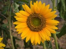Flor do sol do close up Imagens de Stock Royalty Free