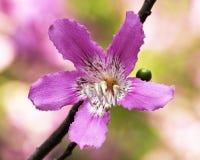Flor do speciosa de Chorisia (árvore de seda de floss) Fotos de Stock Royalty Free