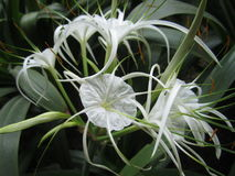 Flor do speciosa de Hymenocallis Imagem de Stock Royalty Free
