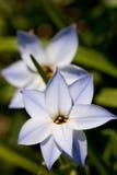 Flor do starflower da mola imagens de stock