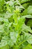 Flor do tabaco Imagem de Stock Royalty Free