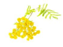 Flor do Tansy Imagens de Stock