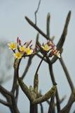 Flor do templo Fotografia de Stock