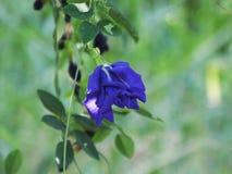Flor do ternatea do Clitoria Fotos de Stock