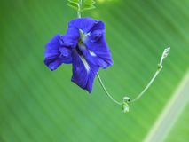 Flor do ternatea do Clitoria Fotografia de Stock Royalty Free