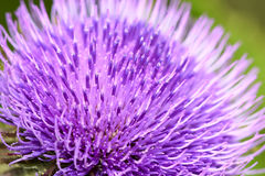 Flor do Thistle Fotografia de Stock