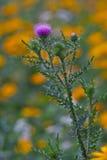 Flor do Thistle Fotos de Stock