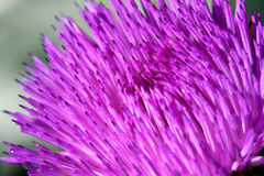 Flor do Thistle de Bull Imagens de Stock Royalty Free