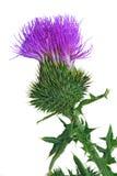 Flor do Thistle de Bull foto de stock