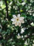 Flor do thunbergia da gardênia imagens de stock