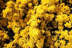 Flor do tojo na linha costeira Escócia da costa oeste imagens de stock