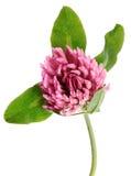 Flor do trevo fotos de stock