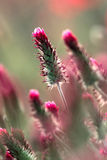 Flor do trevo carmesim Imagens de Stock