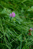 Flor do trevo na grama verde Fotos de Stock Royalty Free