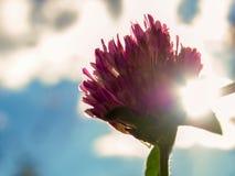 Flor do trevo vermelho na tarde imagem de stock