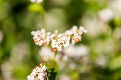 Flor do trigo mourisco Imagens de Stock Royalty Free