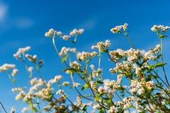 Flor do trigo mourisco Fotografia de Stock