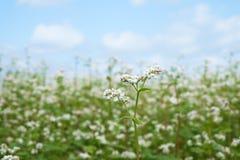 Flor do trigo mourisco Fotos de Stock