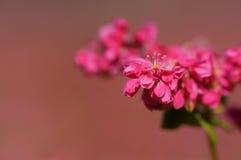 Flor do trigo mourisco vermelho Fotos de Stock