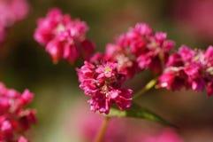 Flor do trigo mourisco vermelho Fotografia de Stock Royalty Free
