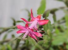 Flor do truncata do Schlumbergera, cacto cor-de-rosa do Natal e da ação de graças Imagem de Stock Royalty Free