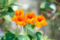 Flor do Tuberose, tuberosa do Polianthes Foto de Stock
