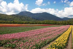 Flor do Tulip Fotos de Stock Royalty Free