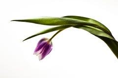 Flor do Tulip fotografia de stock royalty free