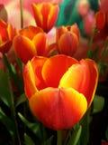 Flor do Tulip Foto de Stock Royalty Free