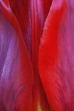 Flor do Tulip Foto de Stock