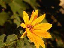 Flor do tupinambo em Gheorgheni Imagem de Stock