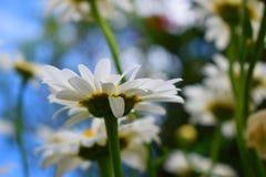 Flor do verão Fotografia de Stock Royalty Free