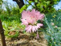 Flor do verão do cravo-da-índia Imagens de Stock