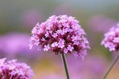 flor do verbina imagens de stock