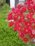 Flor do vermelho de Gumtree Fotografia de Stock Royalty Free