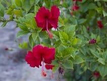 Flor do vermelho do hibiscus Foto de Stock Royalty Free