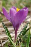 Flor do vernus do açafrão com um erro Imagens de Stock