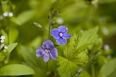 Flor do Veronica imagens de stock
